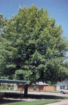 Burr Oak Dallas Tree S Source Inc Farm Nursery Prosper Tx Serving North Texas Great Trees Service Prices