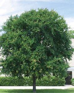 Cedar Elm Dallas Tree Sales Tree Source Inc Tree Farm