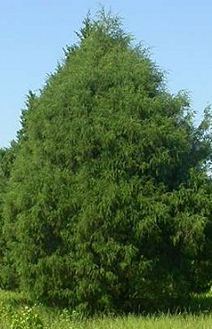 Eastern Red Cedar Dallas Tree Sales Tree Source Inc