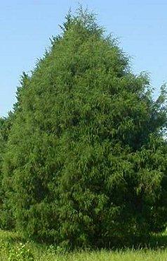 Eastern Red Cedar Dallas Tree Sales Tree Source Inc